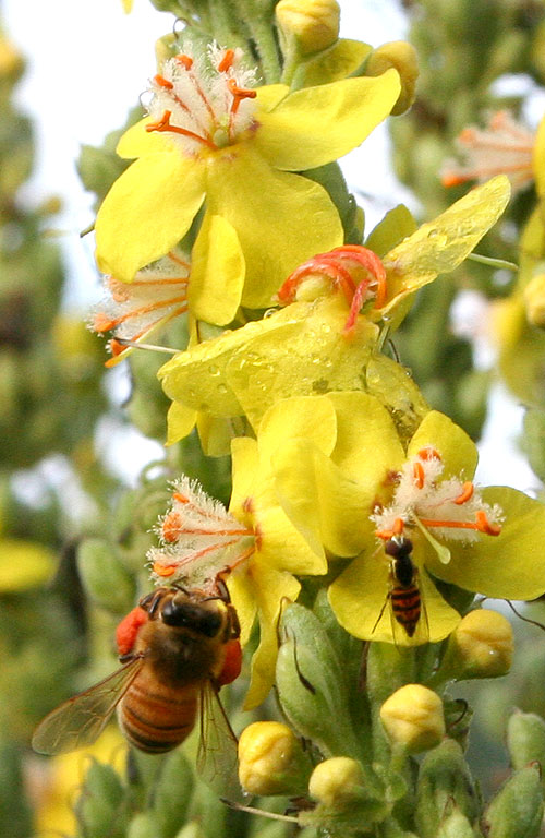 pollinators on verbascum