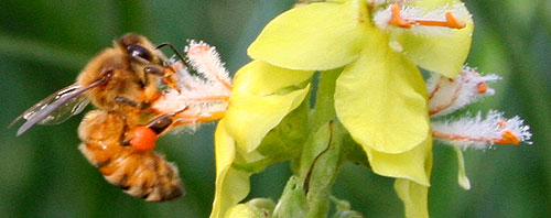 bee on verbascum