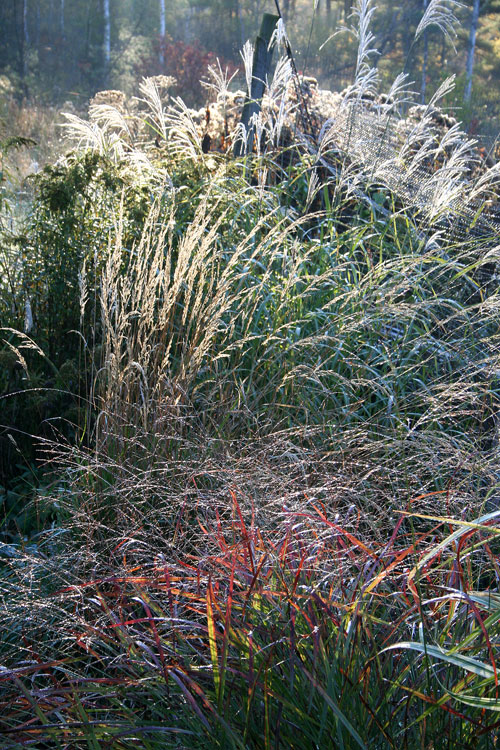 Picture this ornamental grasses ellis hollow for Wild ornamental grasses