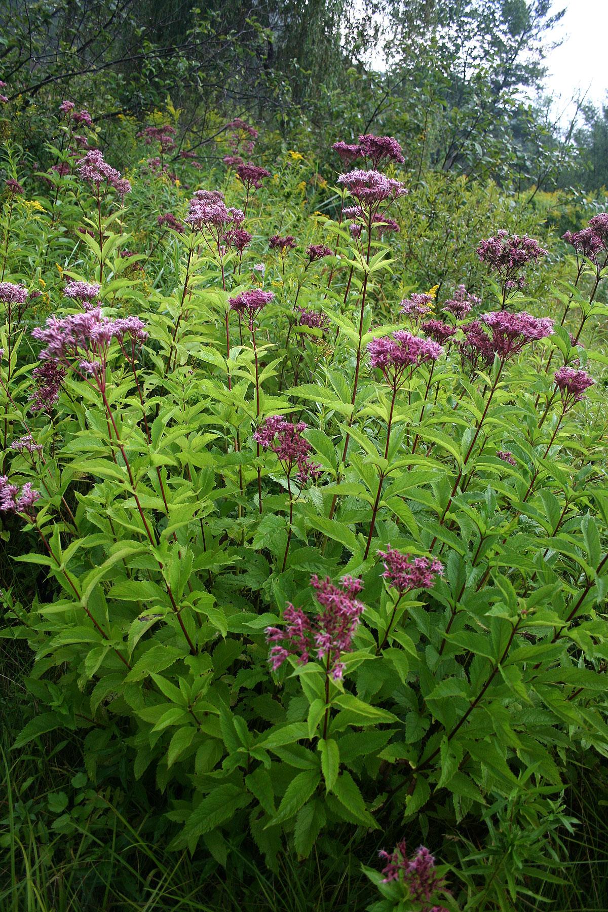 Weeds ellis hollow for Joe pye weed