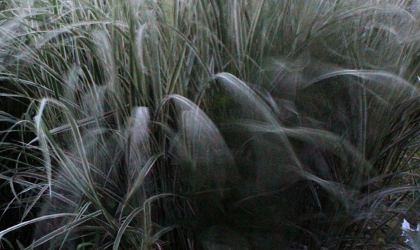 miscanthus in motion