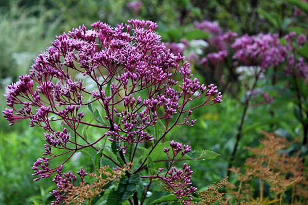 eupatorium and salva