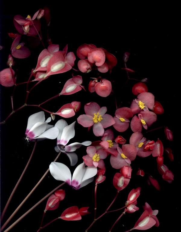 cyclamen and pelargonium