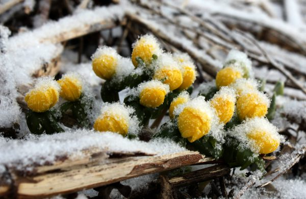 eranthis and iris histrioides katherine hodgkins
