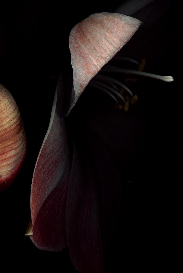 amaryllis scan