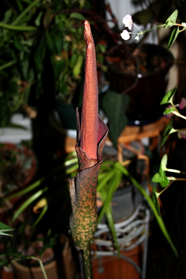 amorphophallus flower