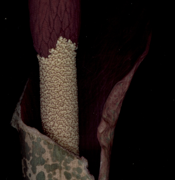 amorphophallus scan