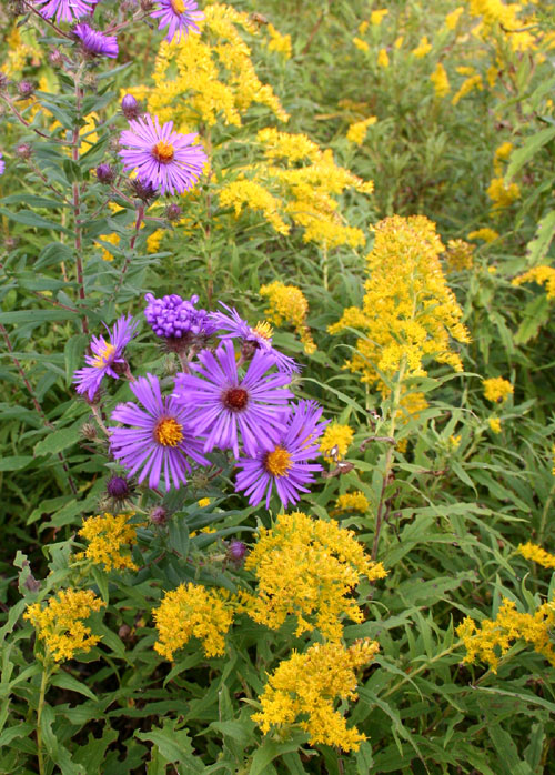 Asters and goldenrod.