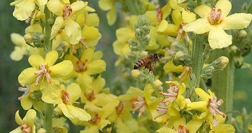 Bees on verbascum