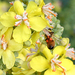 bee and verbascum