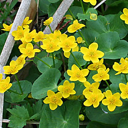 caltha flowers