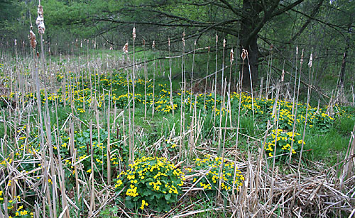 caltha patch