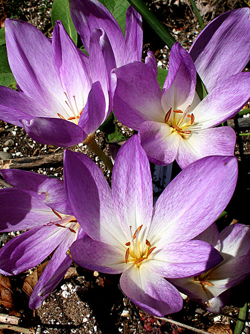 kathy's colchicums