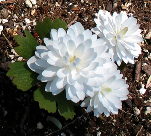 double-flowered bloodroot
