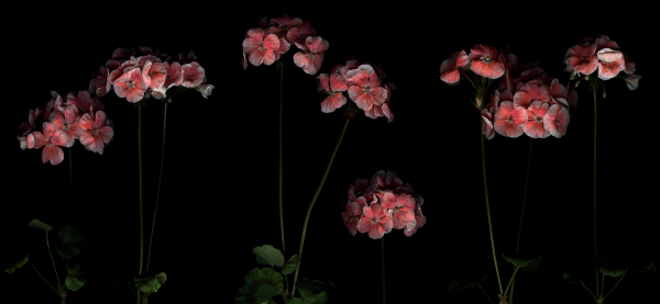 geraniums, err pelargoniums