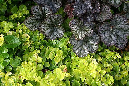 Heuchera and Lysmachia