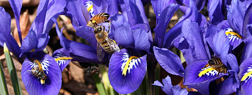 bees on iris reticulata