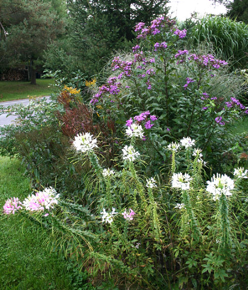 Ironweed and cleome