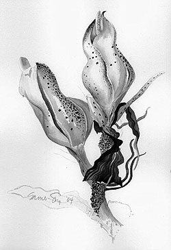 botanical illustration by Marcia Eames-Sheavly