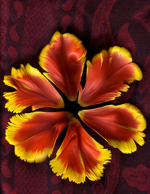 fringed tulip petal scan