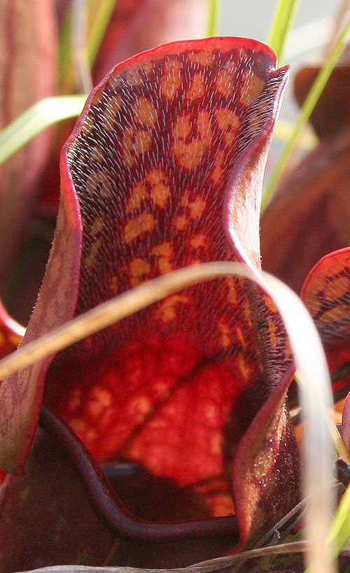 Sarracenia purpurea and Vaccinium macrocarpon