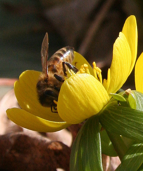 bee on eranthis