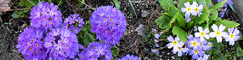 Drumstick and 'regular' primulas