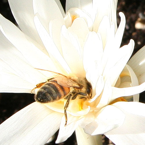 bee on colchicum
