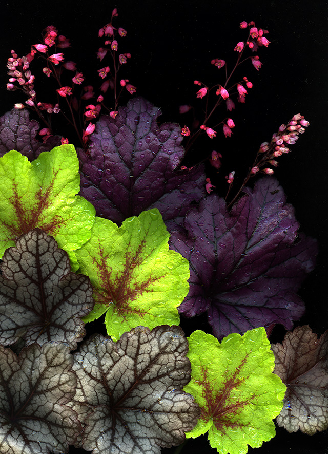 heuchera scan