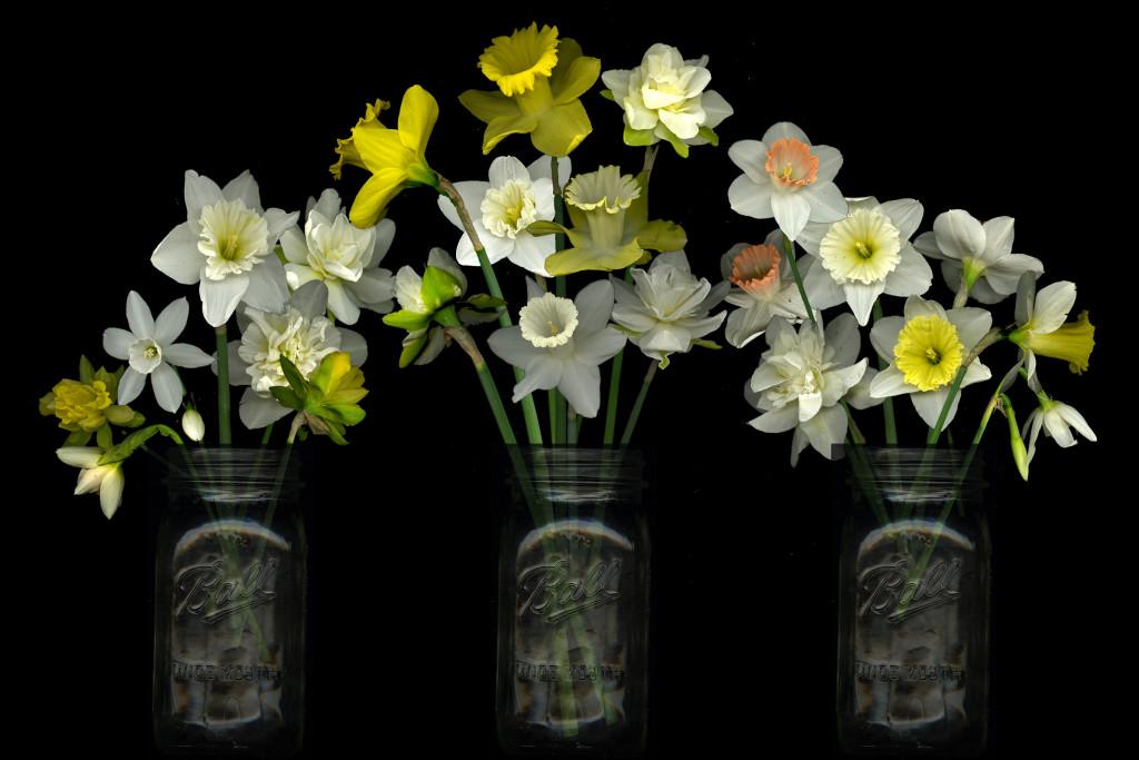 daffodil daze