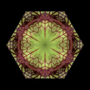 pitcher-plant-kal